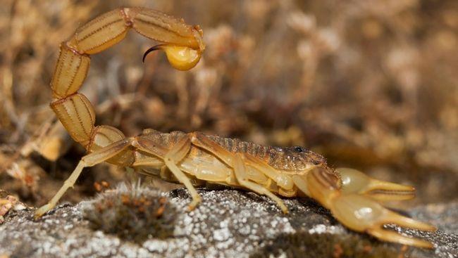 Яд жовтого скорпіона