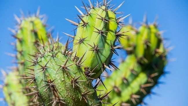 масаж кактусами