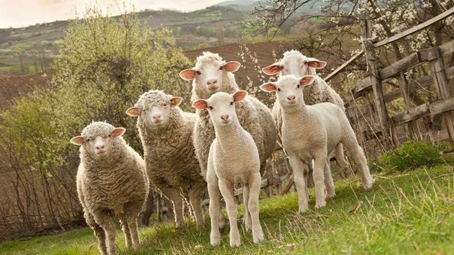 Маска для обличчя з плацентою вівці