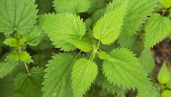 7 Сміттєві рослини, корисних для здоров`я