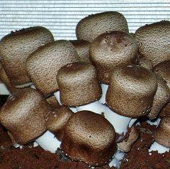 Агарік - гриб сімейства гіменіальних