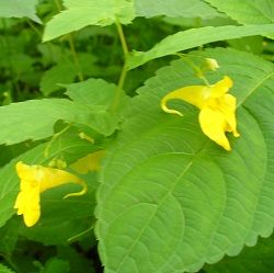 Лікарська рослина бальзамін
