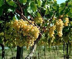 Біле вино - напій, виготовлений з білого, рожевого і навіть червоного винограду