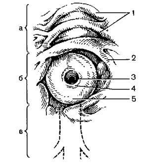 Будова поздовжньої складки дванадцятипалої кишки