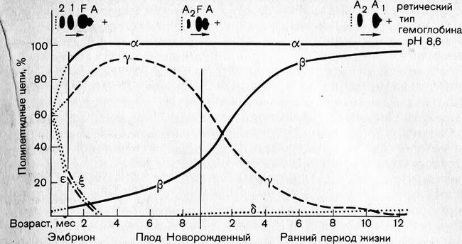 Співвідношення типів поліпептидних ланцюгів гемоглобіну у людини в ранній період життя