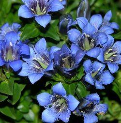 Тирлич - лікарська рослина