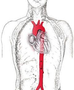 Схема грудної аорта у людини