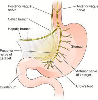 Іннервація шлунка