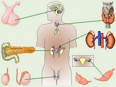 Функції ендокринних залоз