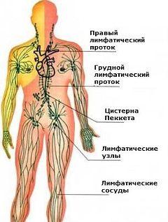 Лімфатична система людини