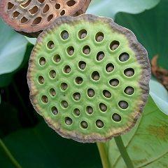 Насіння лотоса горіхоносного