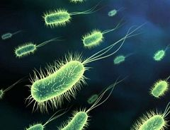 Бактерія Haemophilus Ducreyi - збудник м`якого шанкра