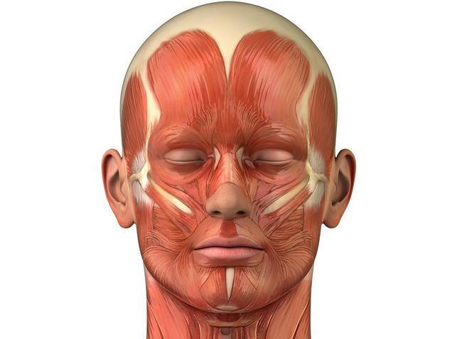 м`язи голови