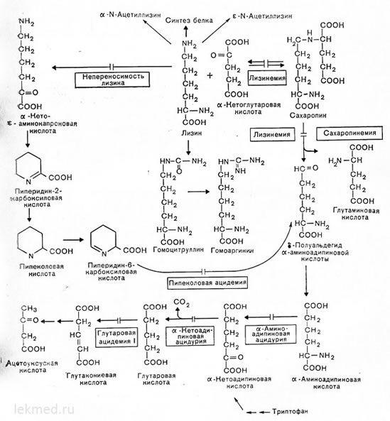 Шляхи метаболізму лізину