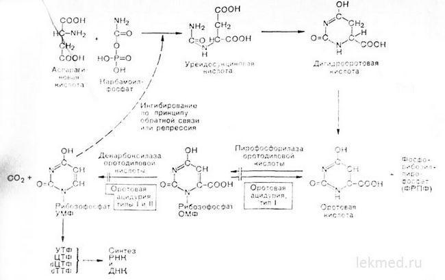 Шляхи біосинтезу піримідинів