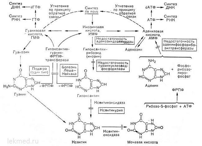 Шляхи метаболізму пуринів