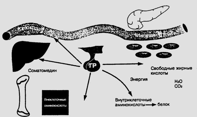вплив гормону росту на метаболізм