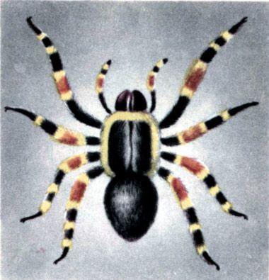 павук-птахоїд