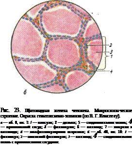 Щитовидна залоза людини