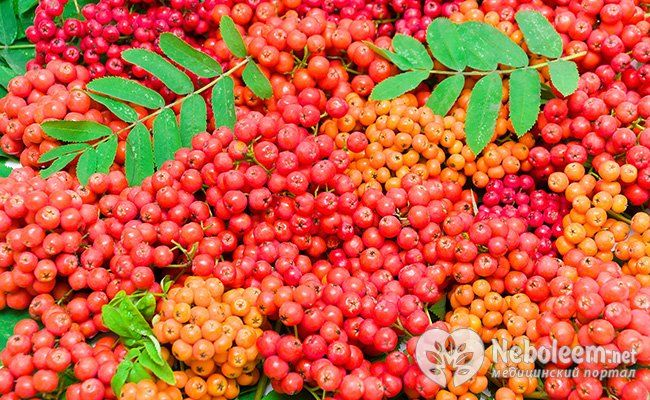 Горобина червона - горобина корисна