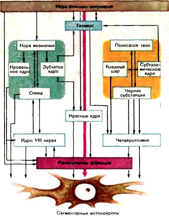 впливу екстрапірамідної системи на спинальний мотонейрон