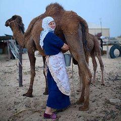 Верблюже молоко - традиційний напій Середньої Азії