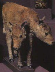 Вроджені вади розвитку у тварин