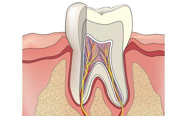 будова зубів